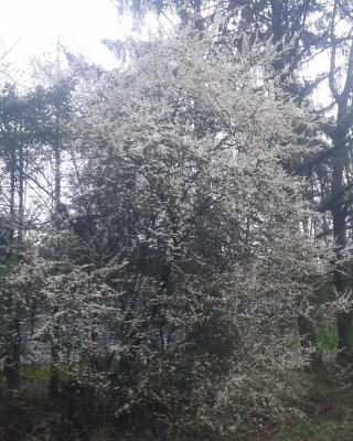 Temple Plum Tree Blossums