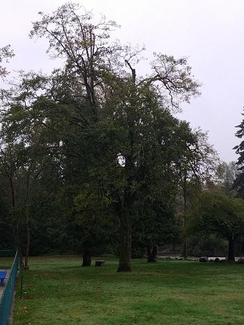 Bagua Tree